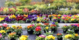 Gekleurde purpere bloemen en Sleutelbloemen in de lente Stock Foto