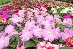 Gekleurde Purple en bi impatiens stock foto