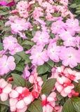 Gekleurde Purple en bi impatiens royalty-vrije stock afbeeldingen