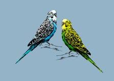 Gekleurde tekening van twee budgies Stock Foto