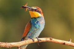 Gekleurde vogel met een bek van horzels bij zonsondergang Stock Fotografie