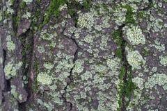 Geknisterte Oberfläche der Baumrinde mit Moos und hellgrüner Flechte lizenzfreies stockbild