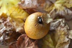 Geknitterter Apfel und Blätter im Herbst lizenzfreie stockfotos