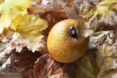 Geknitterter Apfel und Blätter im Herbst stockfotos