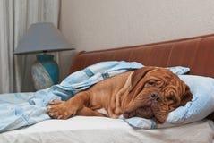 Geknitterter Hund schläft auf Bett ihr Originals Stockbild