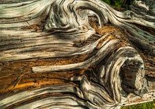 Geknoopte rottende boomboomstam Stock Afbeeldingen