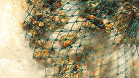Gekochte Miesmuscheln in den Oberteilen in einem Netz auf dem Ofen stockfotos