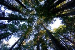 Gekoesterd door de Californische sequoia's Royalty-vrije Stock Foto