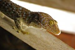 Gekon Dzwoni gekonu Tropikalny azjatykci gekon Obraz Royalty Free
