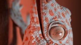 Gekon na pomarańczowej ścianie zbiory