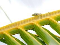 Gekon w naturalnym siedlisku Zdjęcia Royalty Free