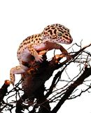 gekonu lampart Fotografia Stock