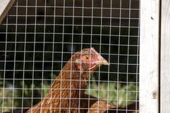Gekooid Kippen landelijk landbouwbedrijf royalty-vrije stock afbeelding