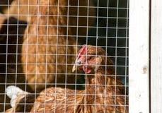 Gekooid Kippen landelijk landbouwbedrijf Canada royalty-vrije stock foto's