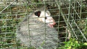 Gekooid opossum stock foto