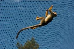 Gekooide gemeenschappelijke eekhoornaap Stock Foto