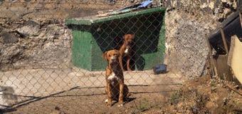 Gekooide honden royalty-vrije stock foto