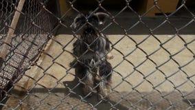 Gekooide Honden, het Ontschorsen, Hoektanden, Verwaarlozing, Misbruik stock video