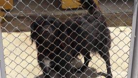 Gekooide Honden, het Ontschorsen, Hoektanden, Verwaarlozing, Misbruik stock footage