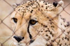 Gekooide jachtluipaard Royalty-vrije Stock Foto