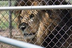 Gekooide Mannelijke Leeuw met manen achter een omheining & x28; Panthera leo& x29; Royalty-vrije Stock Fotografie