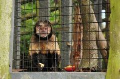 Gekooide Primaat Royalty-vrije Stock Afbeelding