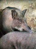 Gekooide wilde varkens Stock Afbeelding