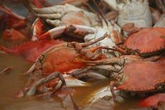 Gekookte krabben in water Royalty-vrije Stock Afbeelding