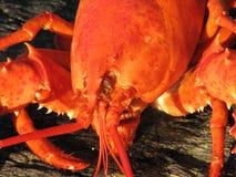 Gekookte Maine Lobster in Clam Bake stock foto
