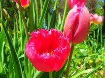 Gekräuselte rosa Tulpen Stockbild