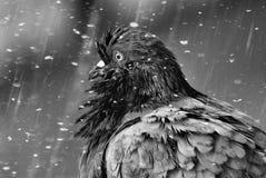 Gekräuselte Taube im Regen Stockbild