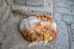 Gekräuselter Hund Stockfotos