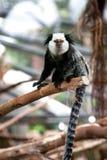 Gekräuselter Schwarzweiss-lemur am Zweig Lizenzfreie Stockfotos