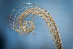 Gekräuseltes Spitzen des getrockneten Pampasgrases oder des Graslandgrases stockfotos