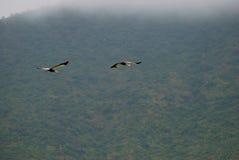 Gekrönte Kräne im Flug Lizenzfreies Stockbild