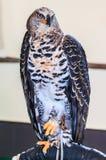 Gekrönter Adler ist ein großer Raubvogel Lizenzfreie Stockfotografie
