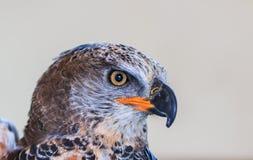Gekrönter Adler ist ein großer Raubvogel Stockfotografie