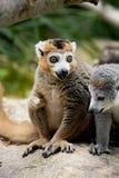 Gekrönter Lemur Lizenzfreie Stockfotos