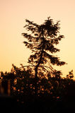 Gekrümmte Kiefer gegen einen orange/roten Himmel Stockfoto