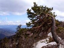 Gekrümmter Baum auf dem Abhang Lizenzfreies Stockbild