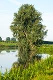 Gekrümmter Baum reflektierte sich in der glatten Wasseroberfläche Stockfotografie