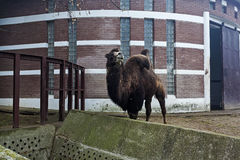 Gekrümmtes Kamel Stockbild