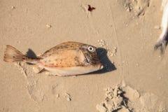 Gekritzelte Cowfish Acanthostracions-quadricornis, dem an gestorben ist lizenzfreies stockfoto