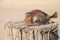 Gekritzelte Cowfish Acanthostracions-quadricornis, dem an gestorben ist lizenzfreie stockfotos