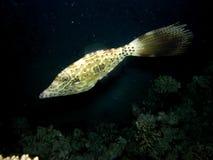 Gekritzelter Filefish auf Korallenriff nachts Lizenzfreie Stockfotografie