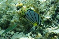 Gekritzeltes Butterflyfish Chaetodon-meyeri stockfoto