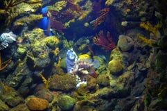 Gekronkeld Moray Eel en lionfish stock afbeeldingen