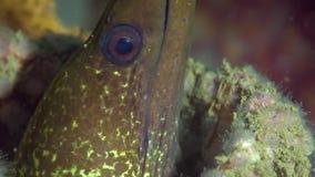 Gekronkelde moray Gymnothorax-undulatus in golf I van Fujairah de V.A.E Oman stock footage