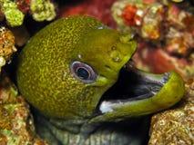 Gekronkelde undulatus Moray - Gymnothorax stock foto