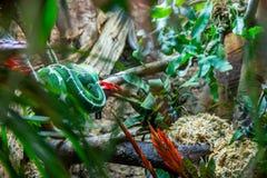 Gekruld omhoog Emerald Tree Boa Royalty-vrije Stock Afbeelding